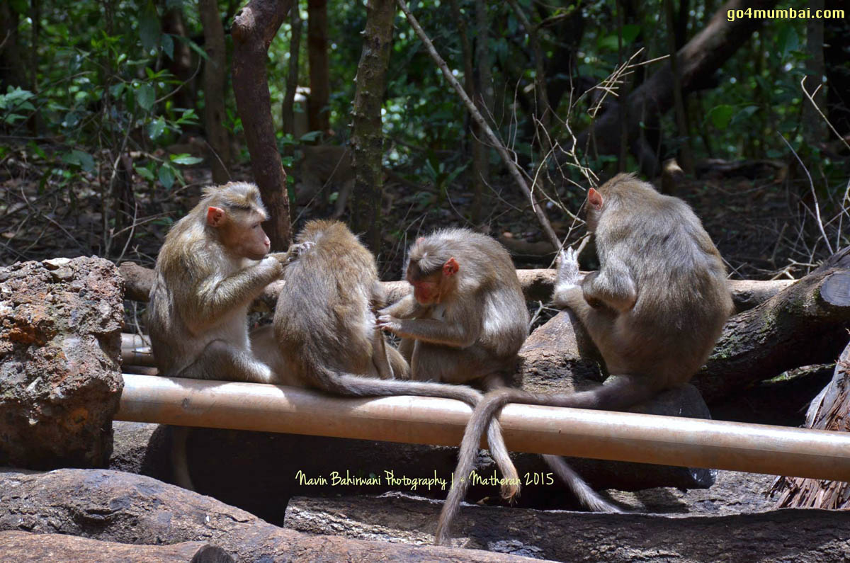 Four Monkeys in Matheran