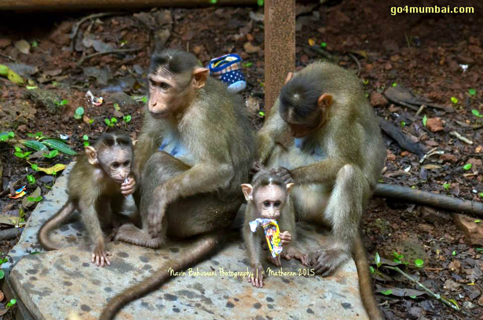 Monkey Family Neral Matheran